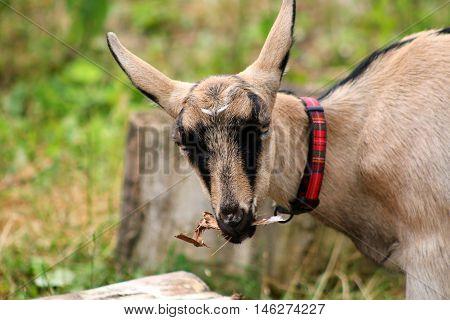 A domestic Goat feeding in a farmyard