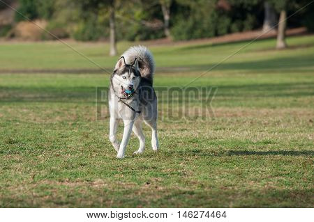 Wide view of black and white Siberian Husky running across grass while looking ahead.