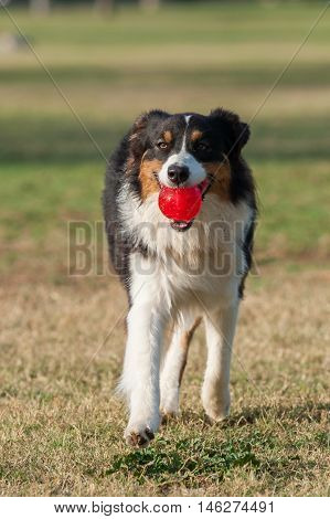 Close view of Red Merle Australian Shepard running ahead while holding ball in mouth.