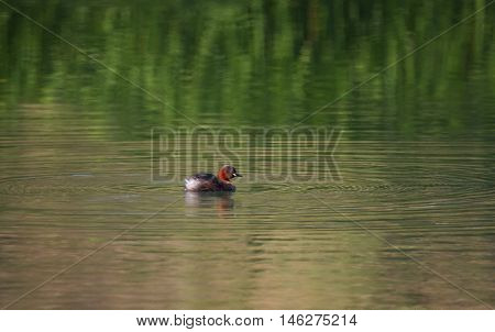 Little grebe duck tachybaptus ruficollis in breeding plumage swimming on the river