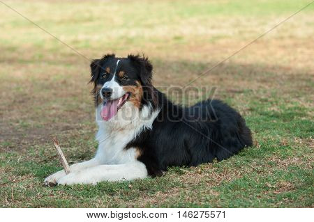 Australian Shepard lying with happy expression while holding stick.