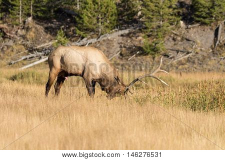 a bull elk tears up the ground with his antlers in the rut