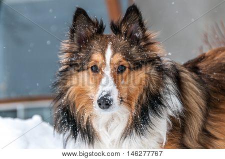 closeup of a male three color shetland sheepdog in Winter