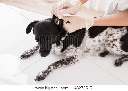 Close-up Of A Vet Cleaning Dog's Ear With Cotton Bud