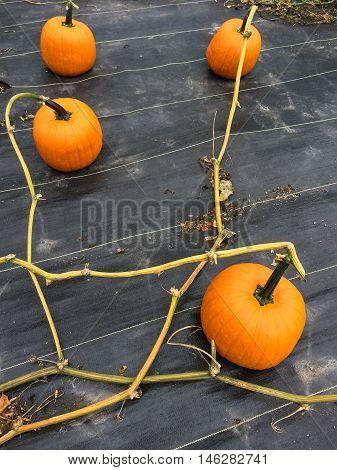 Vegetable patch with ripe orange pumpkins. Autumn garden.