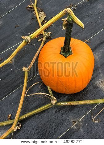 Bright orange pumpkin in autumn garden. Vegetable patch.