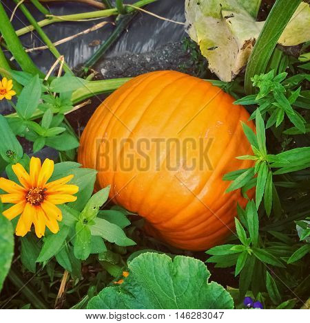 Big orange pumpkin in autumn garden. Vegetable patch.