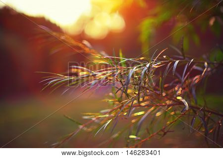 Photo sheet at sunset close up in warm colours macro bokeh Close up Leaf Backlit Silhouette Sun rays light between sea buckthorn branches