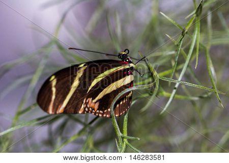 Tropical Butterfly Dido Longwing macro in green leafs.