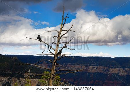A black crow sits on a branch of a dead looking tree at the Grand Canyon on a cloudy day.