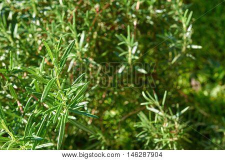 Fresh rosemary herb growing in a garden (Rosmarinus officinalis)