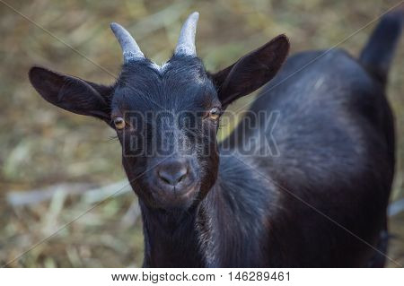 Black small beautiful horned goatling walks into a barn for livestock. Close-up. Breeding animals at home.