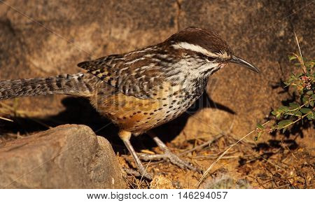 A Cactus Wren Looking For Food In The Sonoran Desert.
