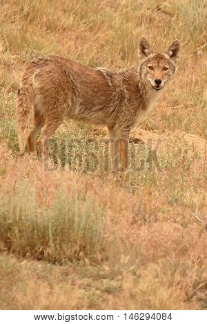 A Coyote Looking Back From A Hillside In Colorado