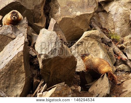 A pair of Yellow-Bellied Marmot among rocks in Yellowstone National Park.