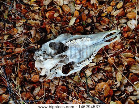 A Black-tailed Deer Skull In Situ, As Found.
