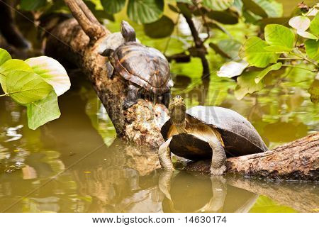 Turtles Sunbathing On Log In Water