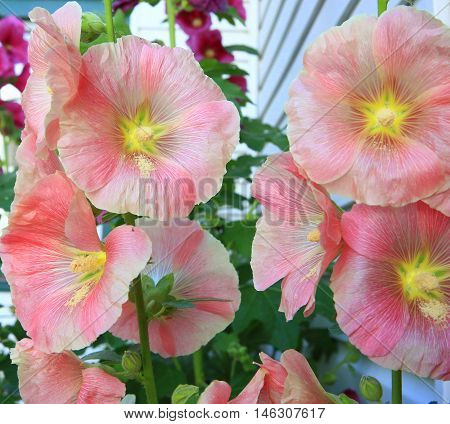 Deep pink colored stem of holly hock flower blooms