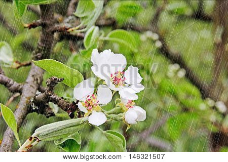 Spring. Soft image of blossoming tree brunch with white flowers in a rainy day.