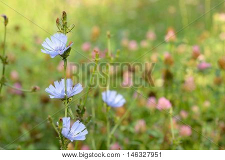 Blue chicory herb in the summer field