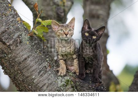 two adorable devon rex kittens posing on a tree