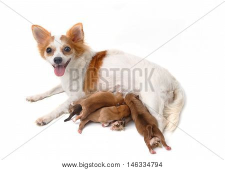 Mother Chihuahua and her puppies on white