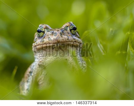 Daring Green Toad In Grass