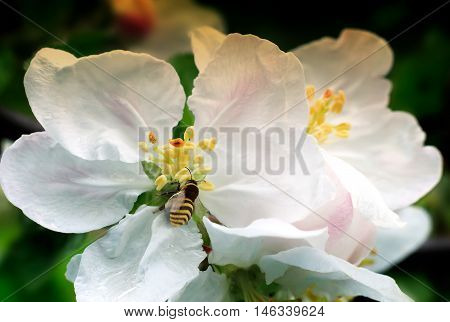 On the branch of a tree with lots of pink and white flowers and buds the bee in the center of the flower collecting nectar.