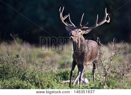 Red Deer Roaring