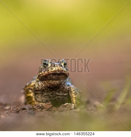 Natterjack Toad Front Legs