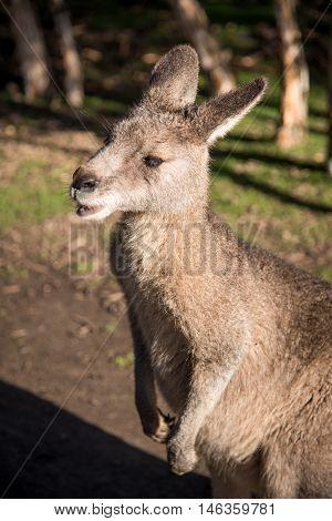 Close up of Australian wallaby wildlife animal