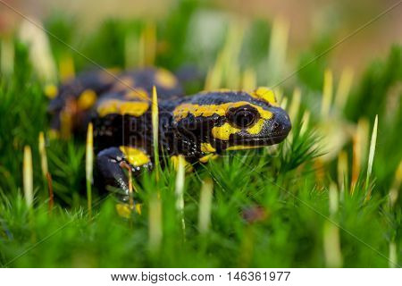 Aerial View Of Fire Salamander On Moss