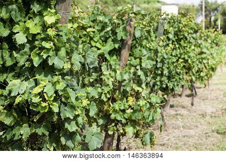 Vineyards sunny day with white ripe clusters of grapes. Italy Lake Garda