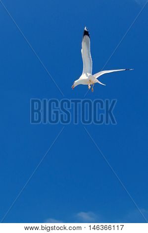 White seagull soaring in the blue sky. Minimalism style.