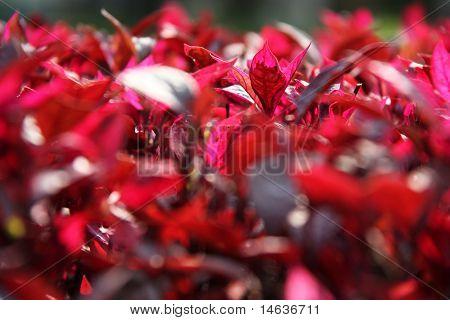Pink Leaf Flower