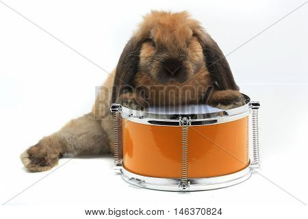 rabbit sitting on a yellow drum isolated on white, studio shot