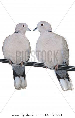 two turtle Dove ( streptopelia turtur ) on a white background