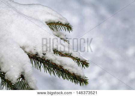 Fir tree branch with fresh snow on a white background