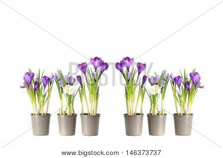 group purple crocuses on a white background