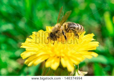 Bee collecting nectar of honey on the dandelion at summer