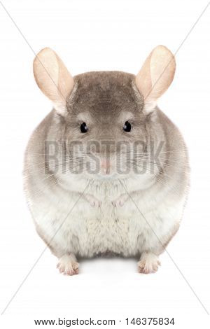 chinchilla isolated on a white background, studio shot