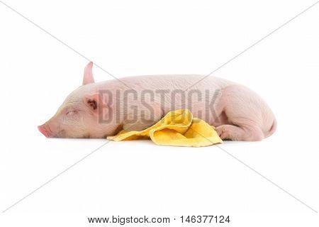 pig sleeps on a white background. studio
