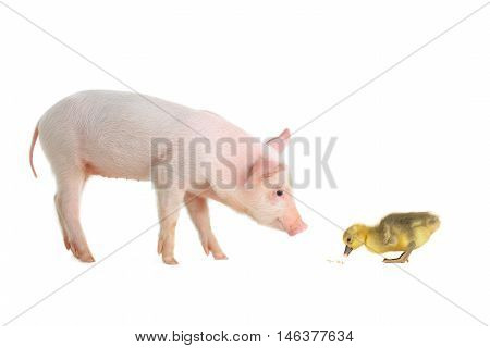 pig and goose on a white background. studio