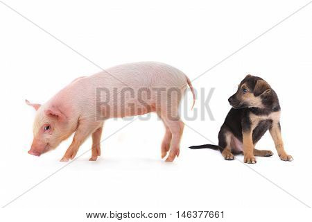 pig and dog on a white background. studio