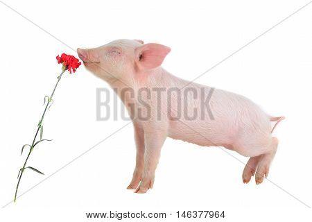 the piglet smells a flower, studio shot
