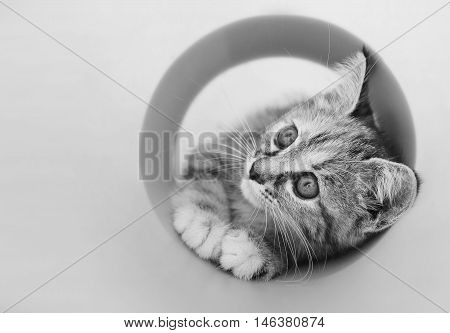 Selective focus at face of Kitten playing with a plastic roll in black and white tone and copy space
