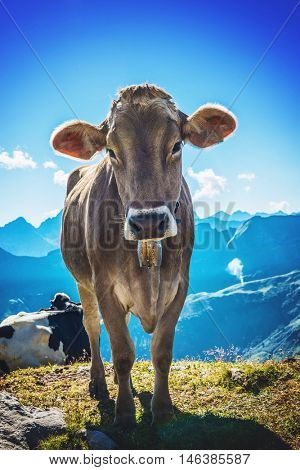 Curious alpine cow standing in a high mountain pasture on Grosser Daumen, Germany looking at the camera against mountain peaks and a blue sky
