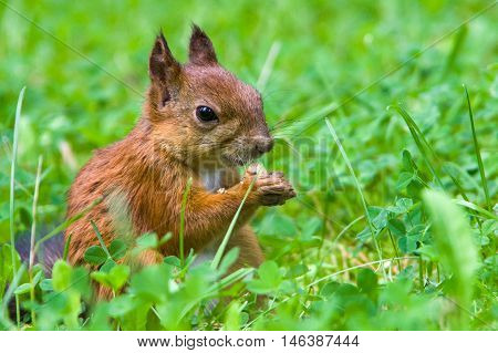 Squirrel Sits In A Green Grass And Eats