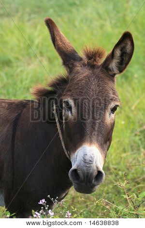Greek donkey