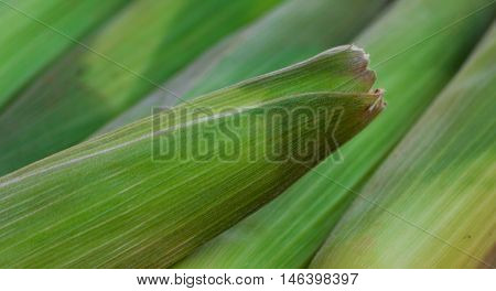 corn with green leaves, good background, vegetables,  one ear stands out,  natural looking, closed
